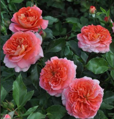 Роза Приёр дё Сан-Косм - фото 8332