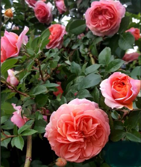 Роза Голд Раш - фото 8340