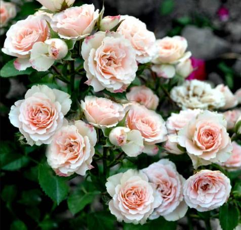 Роза Лидия - фото 8344