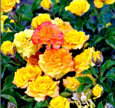 Роза Сан Сити - фото 8348