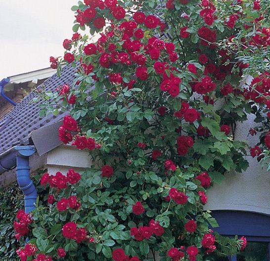 Роза Фламентанц - фото 8366