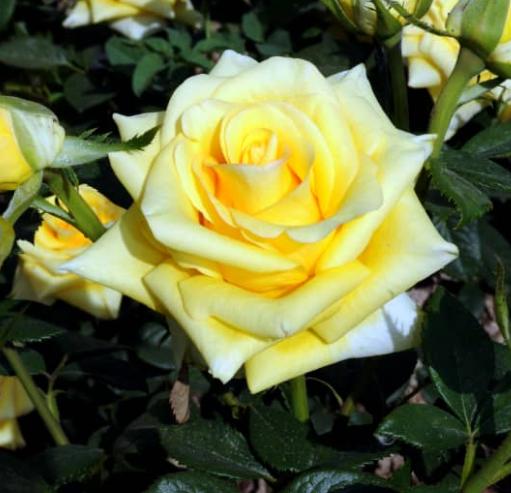 Роза Йеллоу Саммер - фото 8367