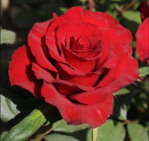 Роза Ред Стар - фото 8370