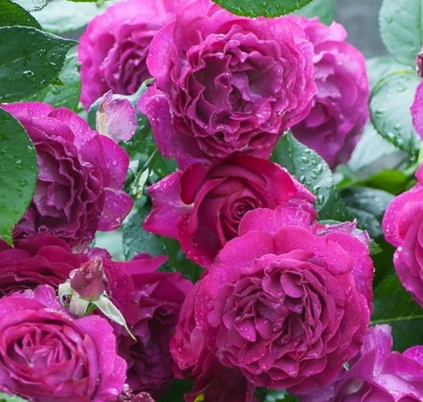 Роза Блю Эден - фото 8371