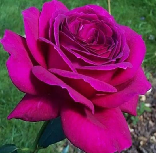 Роза Юрианда - фото 8373