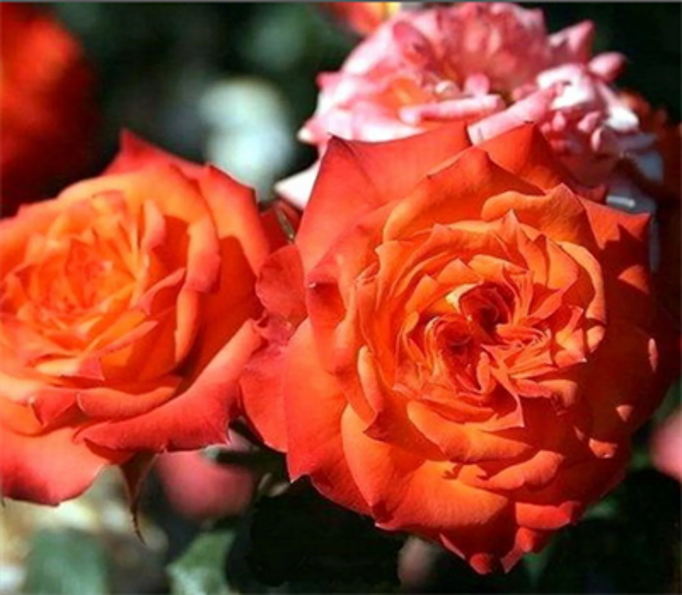 Роза Мандарино - фото 8376