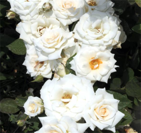 Роза Сноуфлейк - фото 8378