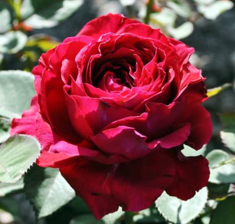 Роза Дарси Бассел - фото 8386