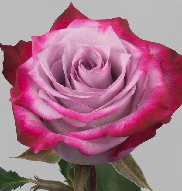 Роза Дип Пёрпл - фото 8391