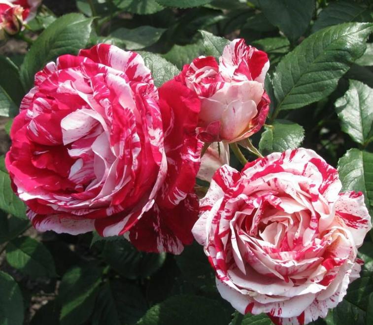 Роза Сентиментал - фото 8394