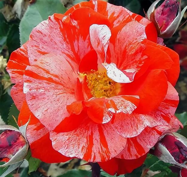 Роза Ханки Панки - фото 8395