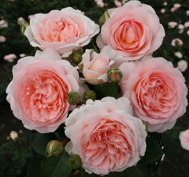 Роза Мархензаубер - фото 8397