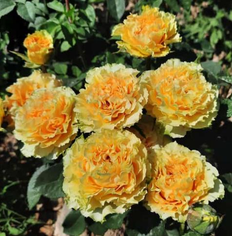 Роза Принцесс Маргарет - фото 8398
