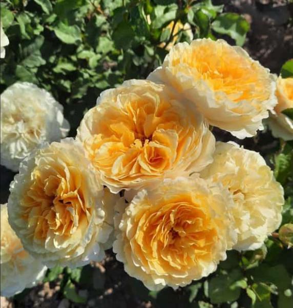 Роза Молинью - фото 8401