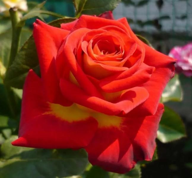 Роза Френдшип - фото 8402