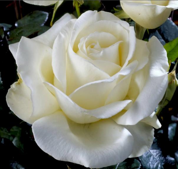 Роза Карен Бликсен - фото 8405