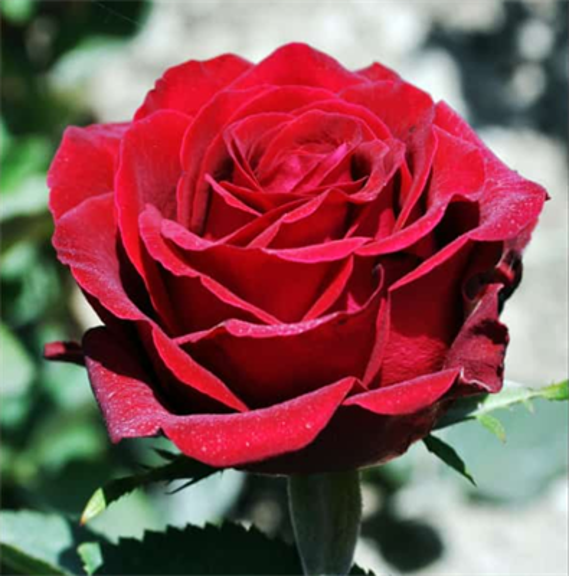 Роза Гладиатор - фото 8407