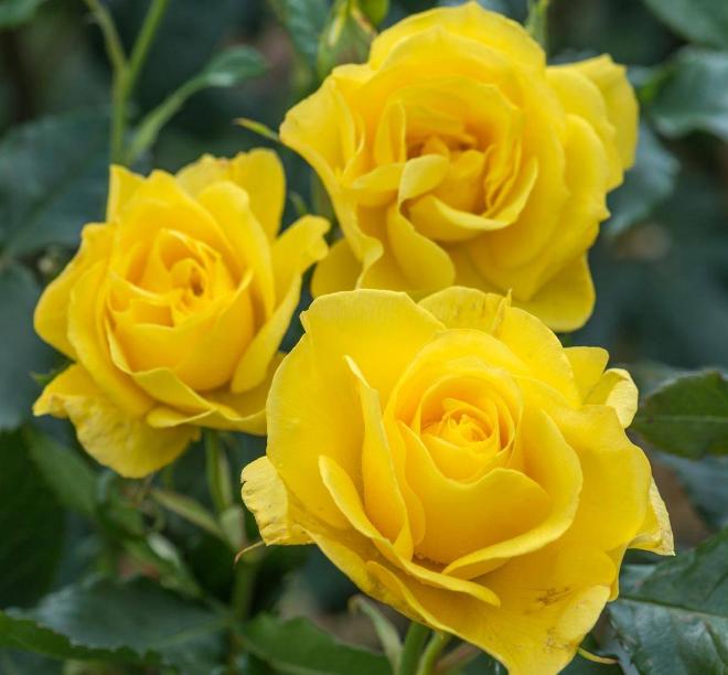Роза Фрезия - фото 8411