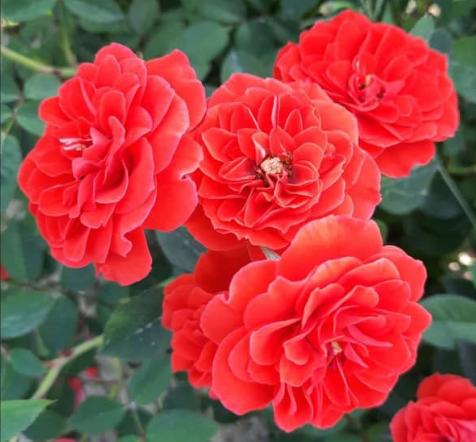 Роза Оранж Санблейз - фото 8413