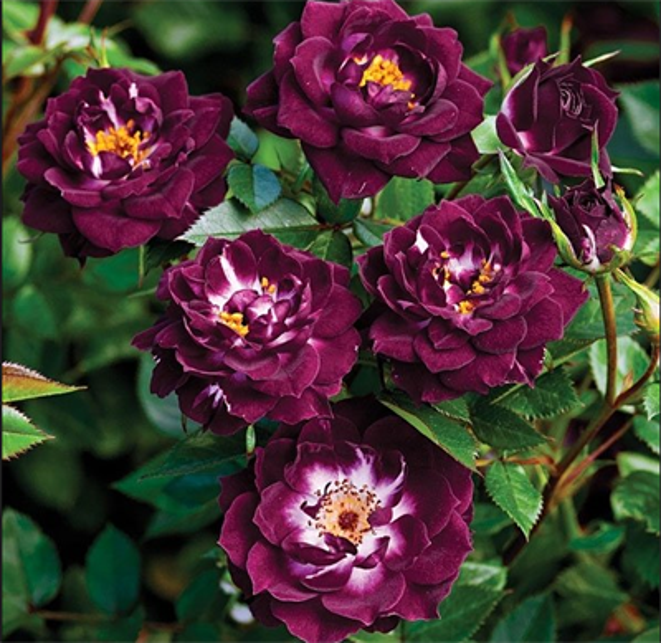 Роза Даймонд Айс - фото 8414