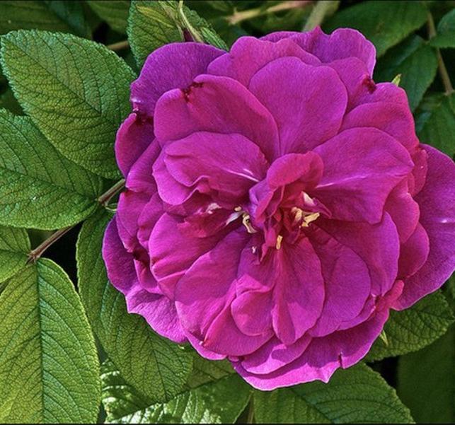 Роза Ханза - фото 8416