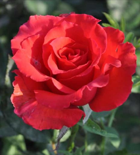 Роза Голден Перл - фото 8418