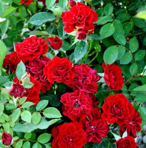 Роза Таманго - фото 8420