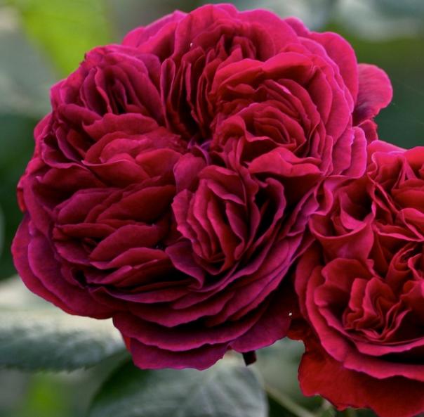 Роза Зе Дарк Леди - фото 8423
