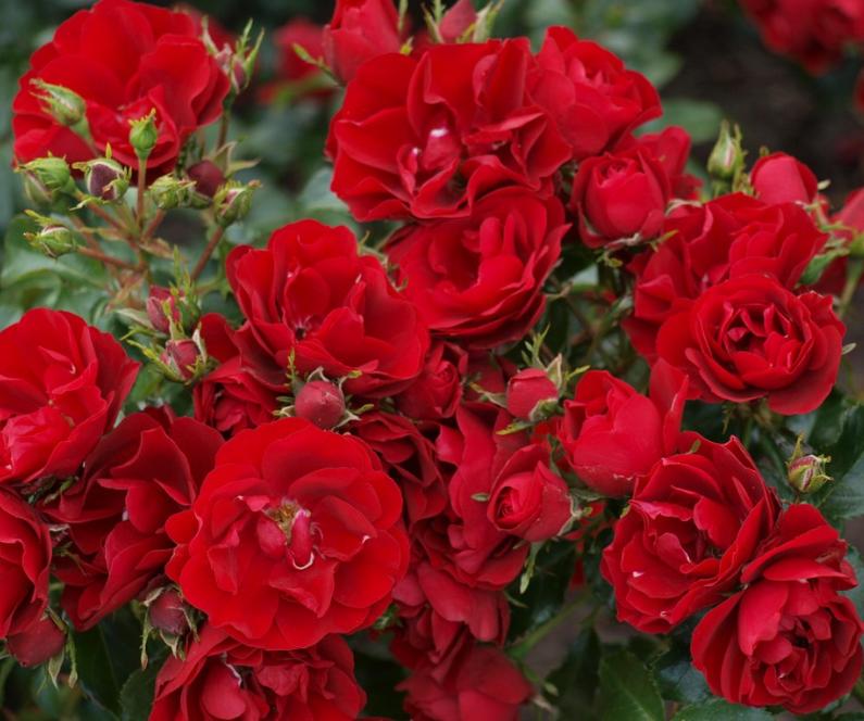 Роза Фейри Данс - фото 8425