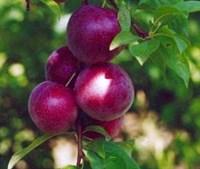 Сливово-вишневый гибрид Майнер 2-х летний ОКС