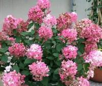 Гортензия метельчатая Пинк Перфект (Pink Perfect)