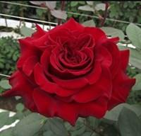 Роза Хартс