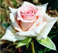 Роза Клер 2006