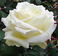 Роза Белый медведь