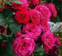 Роза Домэн дэ Сэн Жан де Борегар
