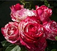 Роза Хаим Сатин