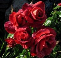 Роза Хот Шоколад