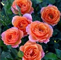 Роза Оранж Мейлав