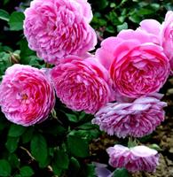 Роза Центифолия Мускоза