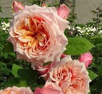 Роза Фестиваль Де Жардан Де Шомон