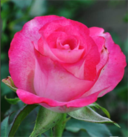 Роза Ривьера