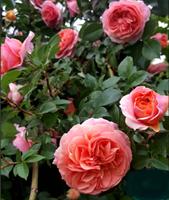 Роза Голд Раш