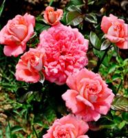 Роза Баллада