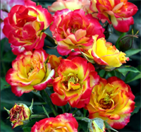 Роза спрей  Румба