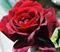 Роза Папа Мейян - фото 8267