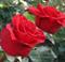 Роза Ред Берлин - фото 8271