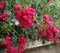 Роза Фейри Тейл - фото 8272