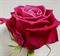 Роза Шангри-Ла - фото 8286