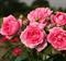 Роза Лагуна - фото 8292