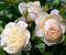 Роза Личфилд Энджел - фото 8298